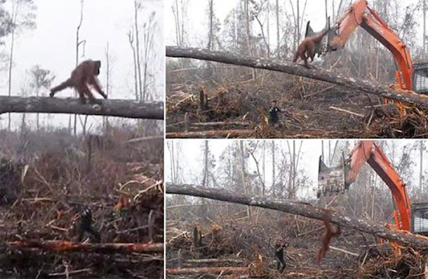 Orangutanes perjudicados por la tala ilegal en Indonesia